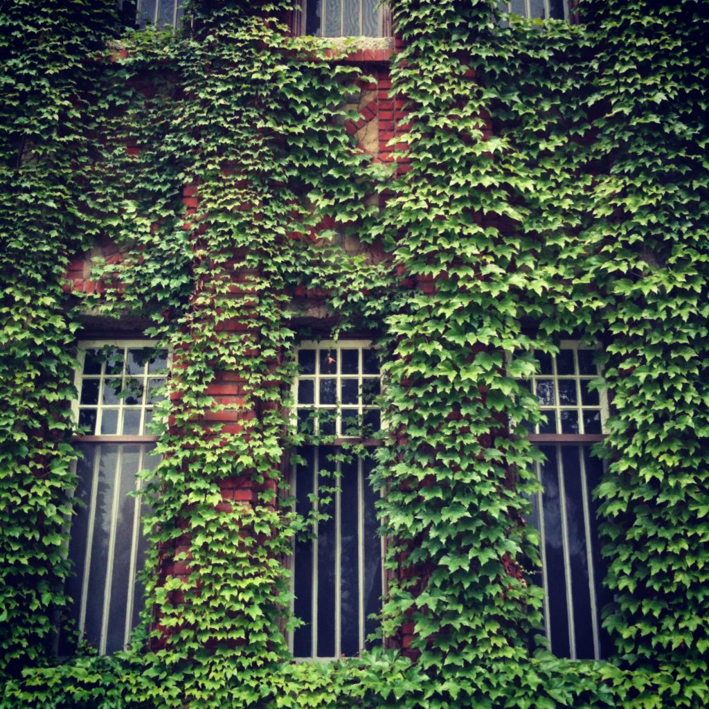 ivy on brick building