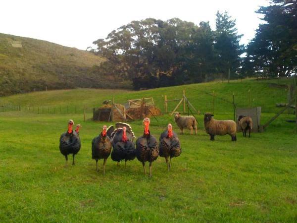 slide ranch turkeys